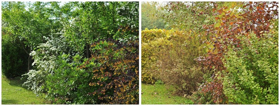 volně rostoucí živý plot - jaro, podzim - Alterstudio