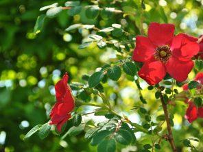 růže Moyesova